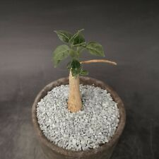 Matelea Cyclophylla own roots POT cm 8,5 Cod 652
