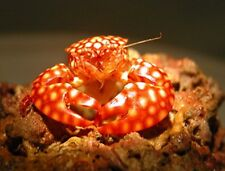 """5 Red spotted Porcelain crabs 1"""" FREE SHIPPING LIVE MARINE FISH CORAL SALTWATER"""