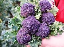 Purple Sprouting Broccoli 100 vegetable seeds ( Beta vulgaris )