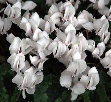 Cyclamen hederifolium Album   10 seeds