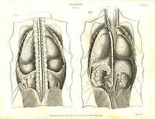 1814 Anatomía vísceras humanos los órganos internos Antiguo Grabado impresión Rees Placa Ii
