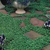 Dichondra Repens-  200 seeds