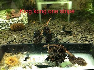 crevette caridina king kong one stripe eau douce x10 aquarium