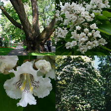 30+ NORTHERN CATAPULA TREE SEEDS / FAST GROWING / GORGEOUS FLOWERS