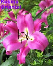 """10x Oriental Lily Bulbs """" Robina """" Hot Pink. Flowering Sized Bulbs, Scented"""
