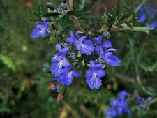 25 Seeds Rosemary Aromatic Herb Market or Home Gardening Potted Plant- Seed Sale