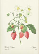 Chile Erdbeere  Fragaria chiloensis FAKSIMILE Farbdruck  Pierre Joseph Redoute