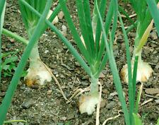 Walla Walla Sweet Mild Onion Seeds 100+ Vegetable Garden NON-GMO FREE SHIPPING
