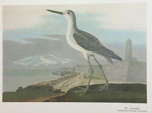 Audubon's >  GREENSHANK <  at   > St. Augustine , Florida <    Large 16x12