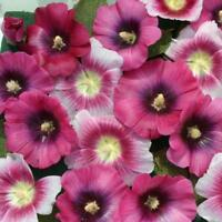 Hollyhock Seeds 25 Halo Hollyhock Perfect Pink Seeds Perennial Seeds