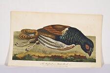 IHLE Gravure coloriée 1796 Oiseau Faisan?Hybrid or Mule Bird Histoire Naturelle