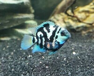3 Polar Blue Convict Parrot Cichlid Tropical Live Fish 2Day FeDex Shipping