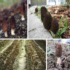 Morille Noire (Morchella Conica 10g Mycelium + graine) Black Morel Mushroom