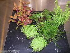 6 plantes assorties pour nanobac et crevettes ou avant plan made in france rare