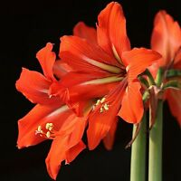 Orange Hippeastrum Lily Flower Seeds  100 Seeds  --BUY 4 ITEMS FREE SHIPPING