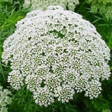 50+ AMMI QUEEN ANNE'S LACE FLOWER SEEDS / LONG LASTING ANNUAL