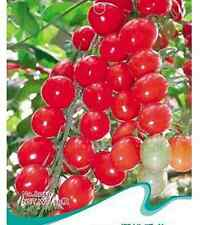 FD1398 Red Tomato Seed Variety Tomato Seed Lycopersicon esculentum ~30 Seeds~