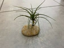Tillandsiart-Airplant Planter-rock (Air Plant Not Included)