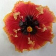 *Cheeky Maiden* Rooted Tropical Hibiscus Plant*Ships Bare Root*