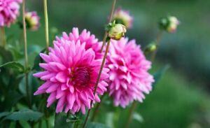 2 Dahlia Decorative Pink Flowers Perennials Tubers Colours Summer Beautiful