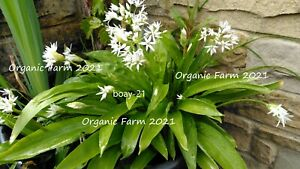 25 x Organic Wild Garlic Bulbs ,Freshly Dug ,Planting now For Next Season !