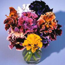 """0.2g (aprox. 150) de flor grande con volantes pensamiento"""" """"mezcla rococó Semillas Color Mezclado"""