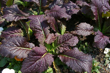 300 graines MOUTARDE DE CHINE ROUGE(Brassica Juncea RED GIANT)H831MUSTARD SEEDS