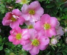 5 Stück Fingerstrauch Potentilla fruticosa Pink Lady Zwergstrauch Sommerblüher