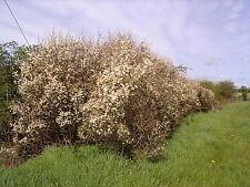 25 Blackthorn Hedging 2-3ft, Prunus Spinosa,Native Flowering Sloe Berry Hedge