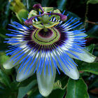 10 SEEDS Exotic Passion Fruit Passion Passiflora Edulis Germination Seed