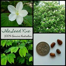 10+ DWARF WHITE ORCHID TREE SEEDS (Bauhinia acuminata) Flowering Bonsai Tropical