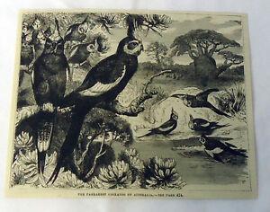 1882 magazine engraving ~ The Parrakeet Cockatoo Of Australia