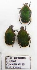 Cetoniidae ssp  (3 ex A1) from CHINA (Cetoniidae)