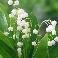 Convallaria Lily of the Valley Pip 1- Dormant Root Shade Plant... Winter hardy