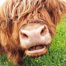 """Highland cow Colourful wall art printed on canvas 22'' X 22"""" solid frame"""