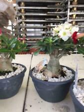 Caudex plant Adenium Obesum potsize 23 cm