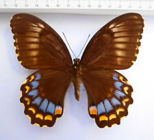 Papilio weymeri Weibchen ex Manus Island, Papua New Guinea, very rare   n367