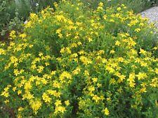 St John's Wort herb plant 9cm pot FREE DELIVERY