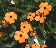 Black Eyed Susan Vine Thunbergia Alata - 500 Bulk Seeds