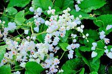 Antigonon leptopus Alba White Chinese Love Vine Rare 5 seeds