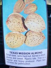 4' live Texas Mission Almond Nut Tree Plants Trees Nuts Ship to all 50 States US