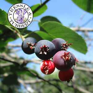Rare Saskatoon Service Berry 5 seeds UK SELLER