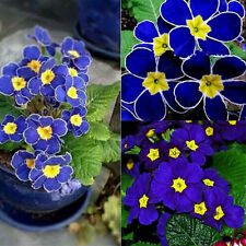 100pcs Blue Evening Primrose Seeds Plant Potted Pansy Flower Seeds Garden Decor