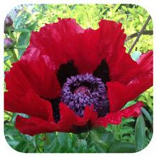 Papaver orientale Beauty of Livermere x 6 Plug Plants Hardy Perennial Poppy