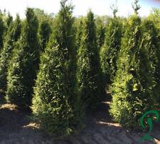 Thuja Plicata 12 x Lebensbaum Heckenpflanze 160-180 cm inkl. Versand 299,- €.