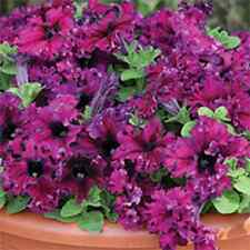 30+ PETUNIA GRANDIFLORA EXPRESSO FRAPPE RUBY FLOWER SEEDS / ANNUAL