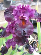 ***MAGICAL REALISM***  TALL BEARDED IRIS - BUBBLE RUFFLED - CHEERY RED VIOLET
