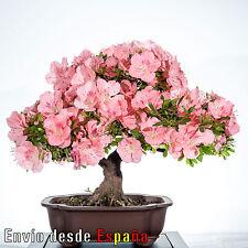 Azalea Rosa Rhododendron 200 Semillas Frescas ideal Bonsai - Envío desde España