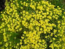 Corbeille d'or ou Alyssum saxatile x 10 graines