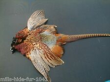 Taxidermy,BEAUTIFUL RINGNECK PHEASANT SKIN LOG CABIN/HUNTING LODGE DECOR FLYTYIN